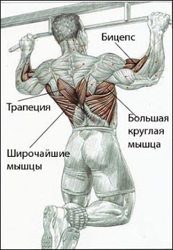 Мышцы спины вид сзади