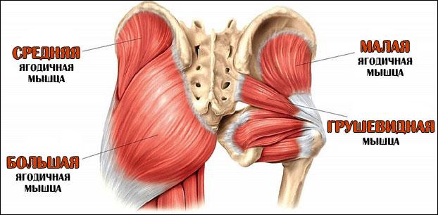 Анатомия грушевидной мышцы