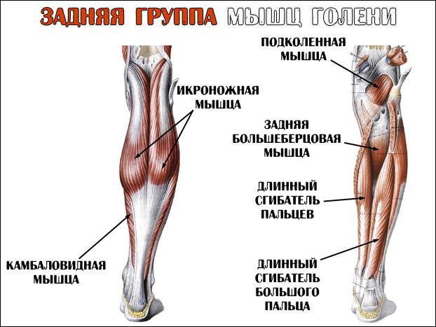 Анатомия задней группы мышц икр