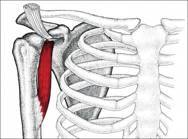 Клювовидно-ключевая мышца