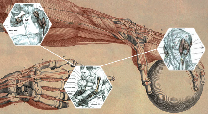 Мышцы руки анатомия и упражнения