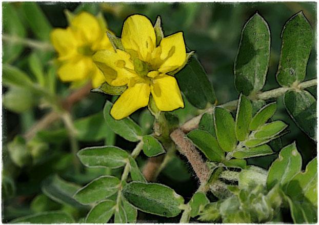 Трибулус Террестрис цветок