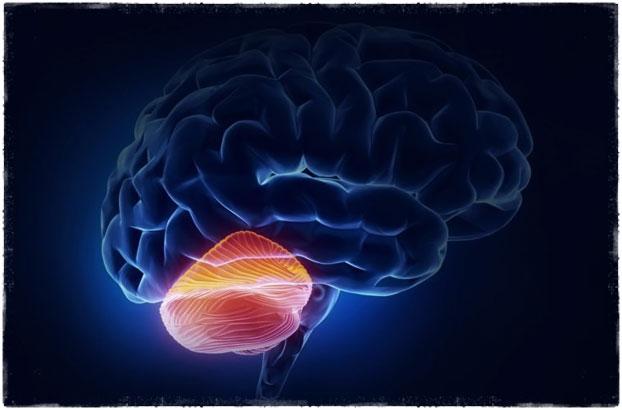 мозжечок у женщин