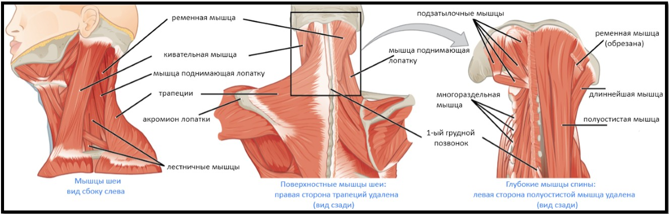 Схема мышц шеи