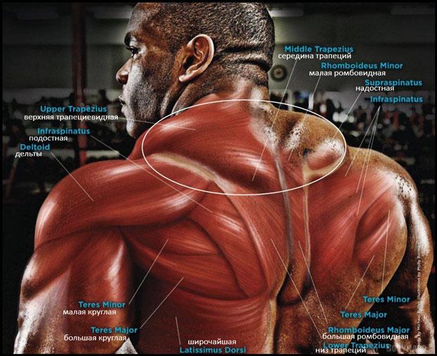 Анатомия трапециевидной мышцы