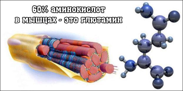 Информация по глютамину