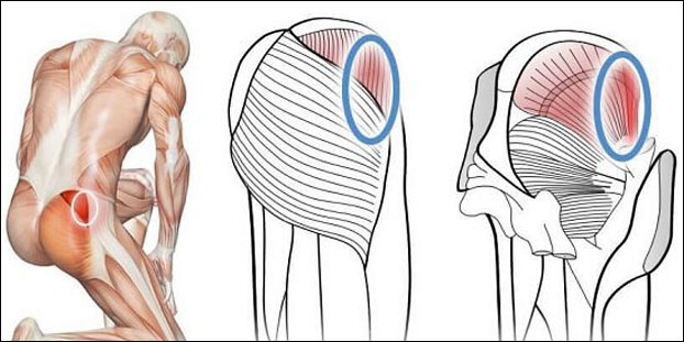 Ягодичная средняя мышца