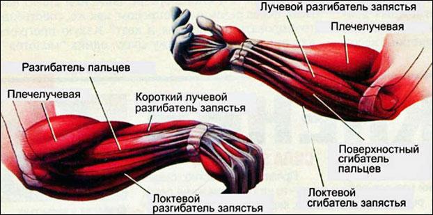 Анатомия предплечья человека