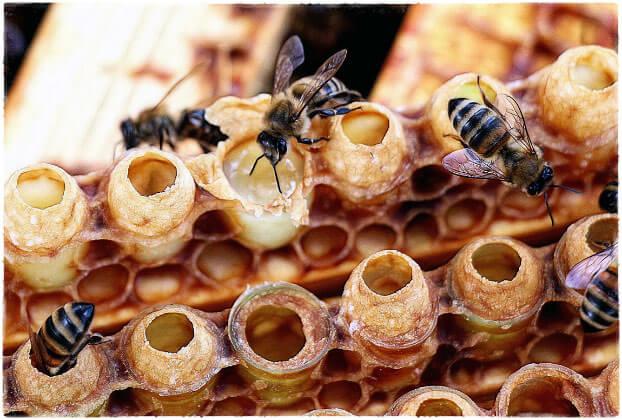 Пчёлы и маточное молочко