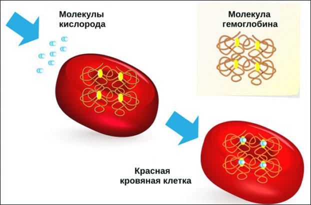 Гемоглобин и эритроциты