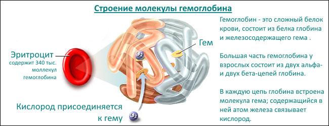 Строение гемоглобина