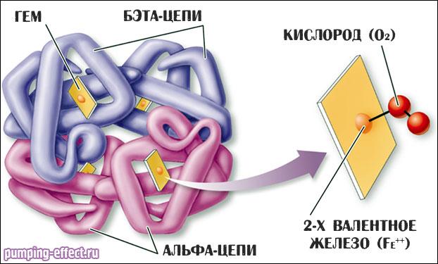 Строение гема