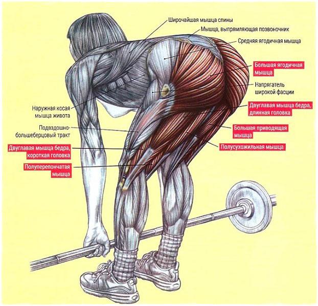 Румынская тяга какие мышцы работают