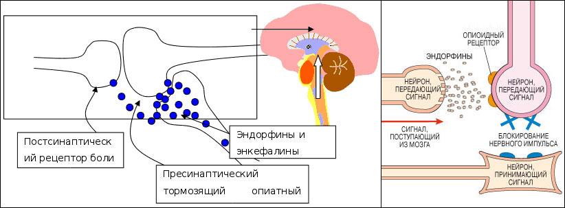 Эндорфин и боль