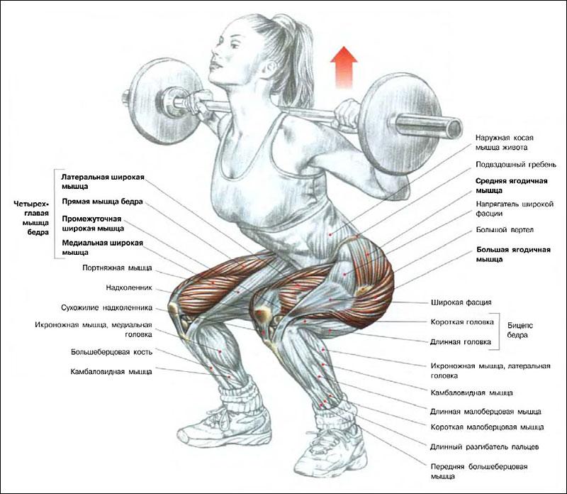 Какие мышцы работают во время приседаний