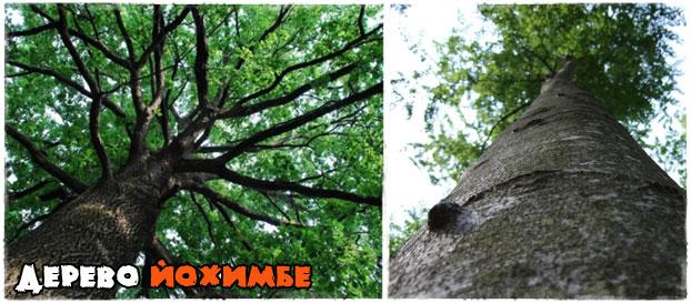 Дерево йохимбе